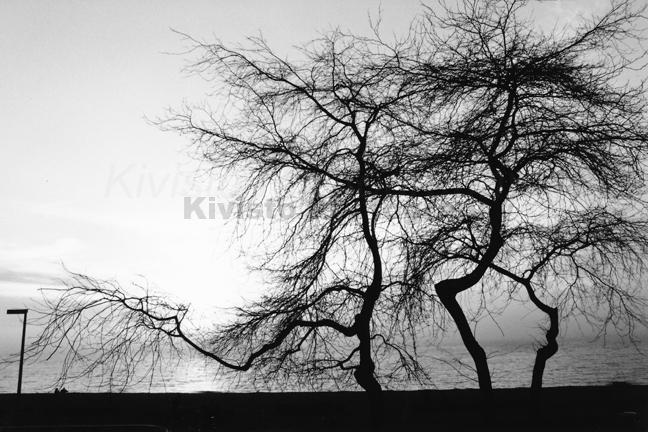Kivisto-Three-Trees