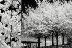 Kivisto-False-Creek-BlossomsDbl
