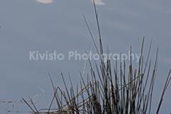 Kivisto Blue Grass