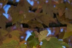 Kivisto Coquitlam River Leaves